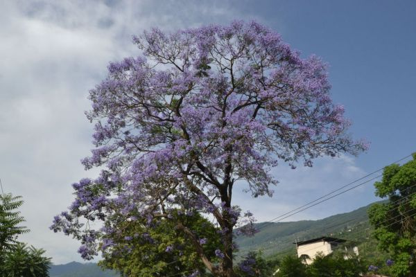 Jacaranda Tree in Kullu, Himachal Pradesh source Wikipedia