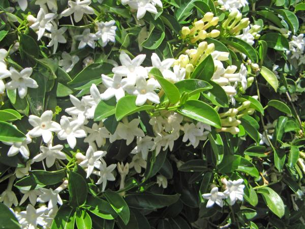 White Jasmine in Bloom